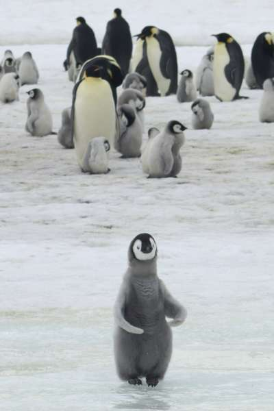 南極洲的哈雷海灣原是全球次大的皇帝企鵝棲息地,但英國研究團隊發現,自當地於2016年發生冰層崩塌後,3年來幾乎沒有新生命在此誕育。(AP)