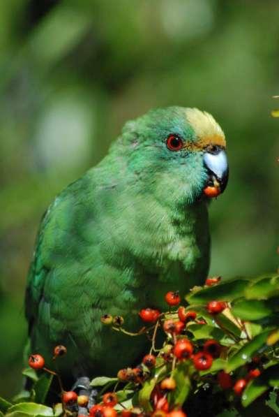 估計島上橙額鸚鵡的總數,目前僅有約100到300隻不等。(取自Isaac Conservation and Wildlife Trust臉書)