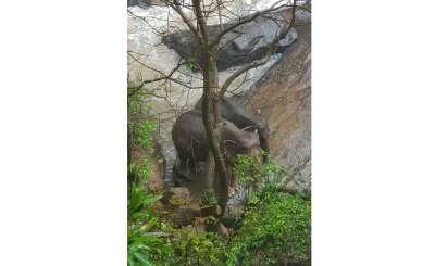 2019年0月5日,幾頭大象受困泰國的(Khao Yai National Park),釀成悲劇(AP)