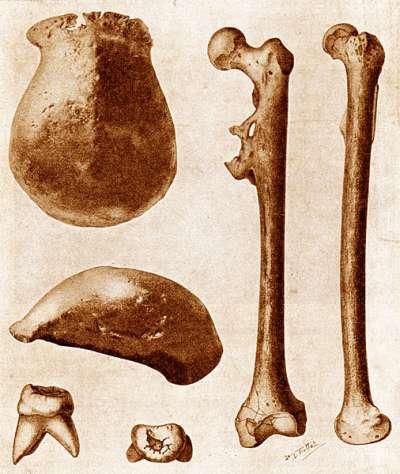 1930年代荷蘭學者在印尼爪哇島發現的直立人骨骸化石。(AP)