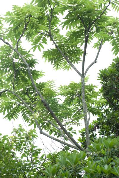 20200221-食茱萸,因布滿尖刺,鳥無法在其上棲息,故又名「鳥不踏」。(資料照,取自維基百科)