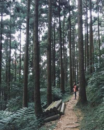 東眼山國家森林遊樂區中充滿仙氣的柳杉林。(圖/IG@capybara_camera)