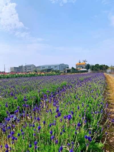 向陽農場在非向日葵花季時,開放薰衣草田。(圖/取自向陽農場臉書)