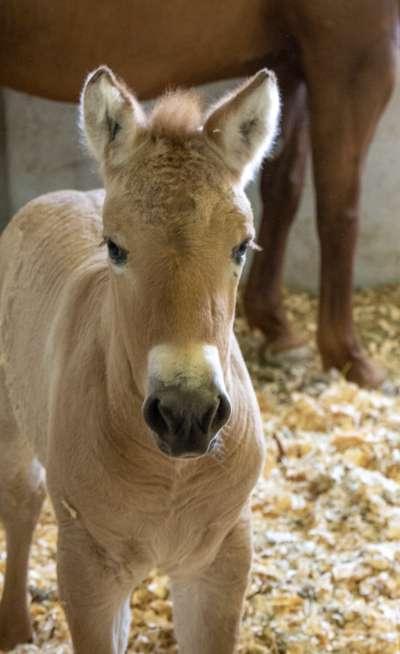 2個月大的庫特是一匹克隆的蒙古野馬。(美聯社)