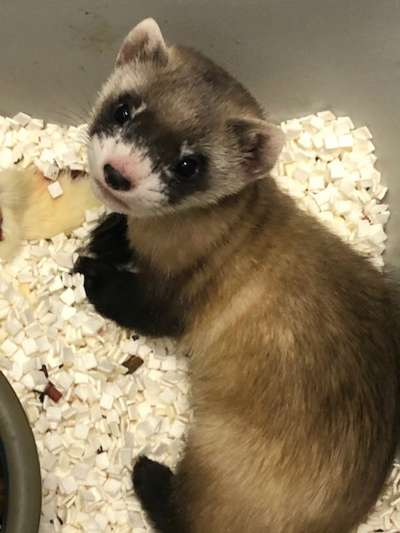 美國運用1988年的冷凍基因,第一次複製出瀕危動物黑足鼬,盼能增加基因多樣性。(AP)