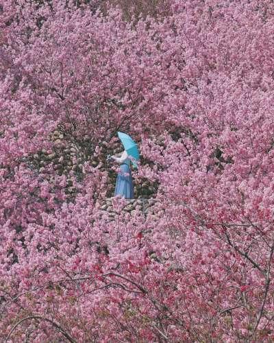 粉嫩的櫻花海營造出浪漫的氛圍。(圖/3more_hi4@instagram 提供)