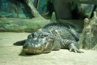 莫斯科動物園的明星鱷魚「土星」,2020年5月以高齡84歲辭世。(維基百科公有領域)