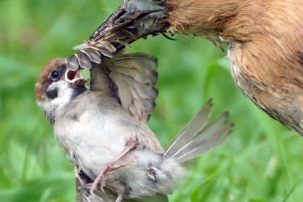 生命最後一刻的驚恐 麻雀與黑冠麻鷺的生死爭搏