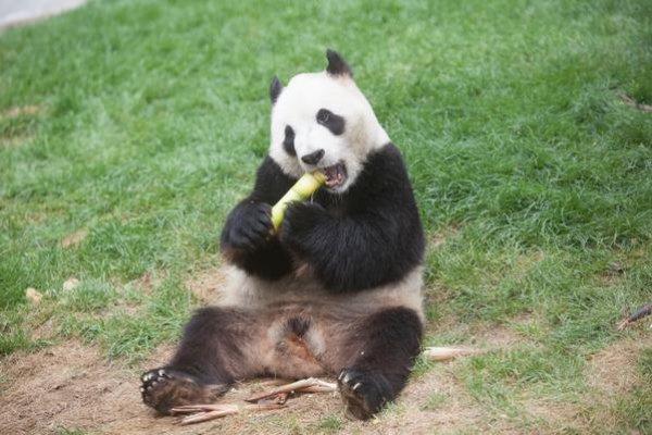 貓熊只吃竹子也能活的秘密:懶得動