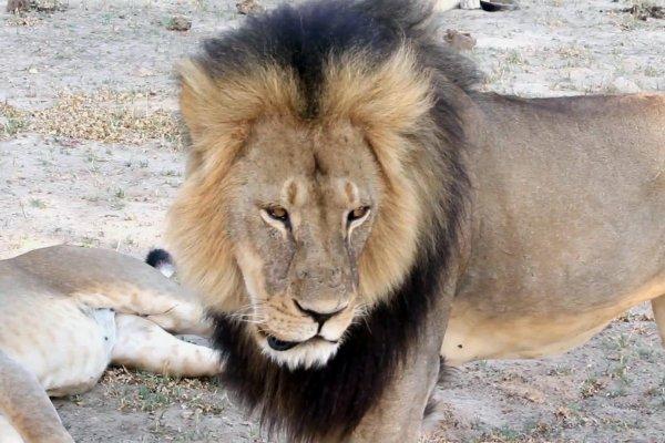 辛巴威明星雄獅遇害 美國屠獅牙醫:我很抱歉