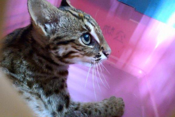 國寶「石虎」路邊獲救 險遭誤認當貓領養