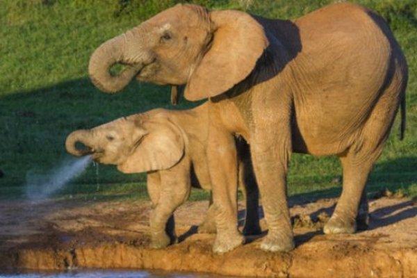 為什麼大象患癌症的機率比較低?