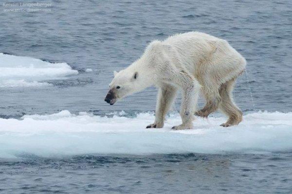 快沒時間了!最新研究警告:北極熊恐在80年內絕種,命運掌握在人類手上