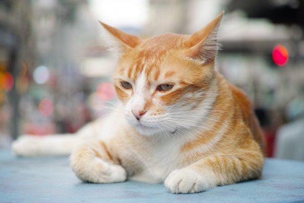 2月22日為日本「貓之日」,10月29日美國「國際貓節」,你知道臺灣也有貓節嗎?