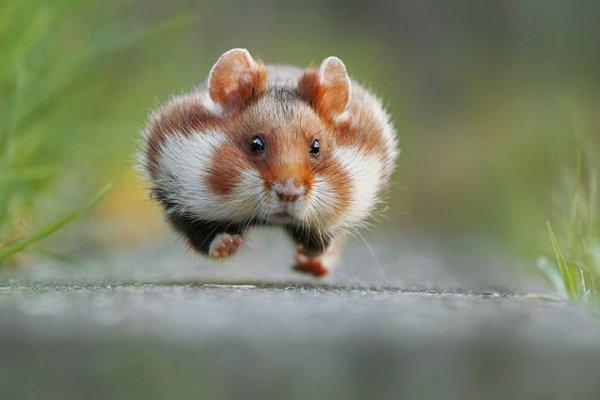 他們都是動物界的諧星!搞笑動物攝影獎得主,是這隻快到飛起來的小倉鼠