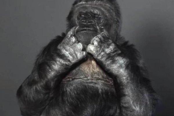 能用手語跟人類溝通的大猩猩,帶來大自然的警訊:「時間不多了,趕快…」