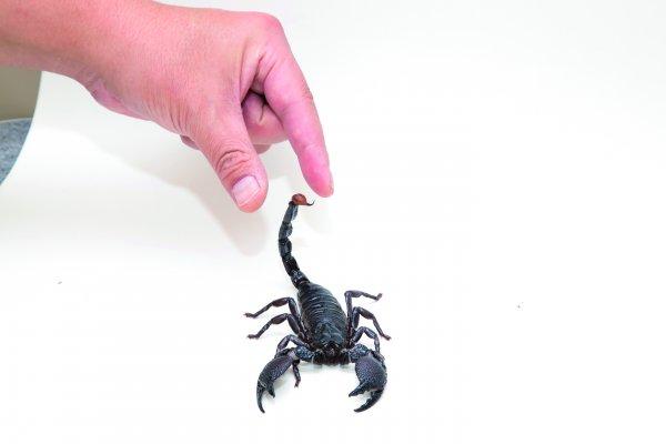 毒蠍子爬到好朋友床上怎麼辦?專業動物攝影師示範怎麼抓,救自己一命!
