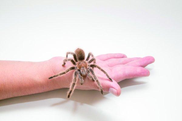 毒蜘蛛爬到心愛的人身上怎麼辦?這樣抓,牠會乖得像貓咪一樣!