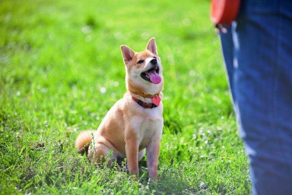 狗狗外出解放時,眼神盯著主人看,背後理由會讓你會心一笑...