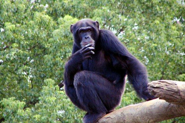 黑猩猩也有「砲友」嗎?動物學家全程記錄性愛生活,自然界遠比你想得精采啊