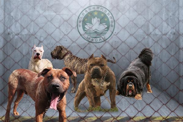 兇猛到不准養!澳門宣布禁止飼養藏獒、比特犬等兇猛犬隻