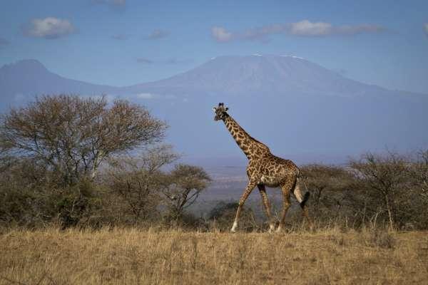 人類垂涎長頸鹿肉!30年7萬隻野生長頸鹿消失 美國擬把長頸鹿升級成「瀕危」物種