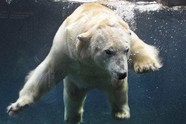 殘忍!中國哈爾濱「北極熊酒店」開幕訂房爆滿 挨批拿動物苦難賺錢
