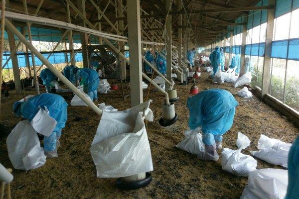 六腳鄉業者主動通報禽流感 嘉縣家畜所完成撲殺作業