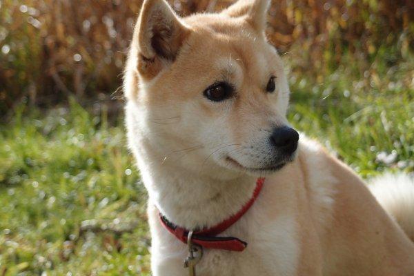 狗狗也有少年白?這4種狗最容易發白髮,快來看看汪星人長白髮的小知識!