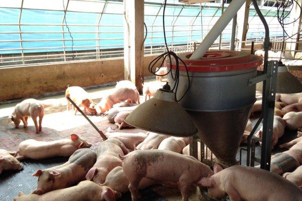 「台灣豬要有競爭力」 沼氣發電設備還沒裝好 畜牧水污費已上路