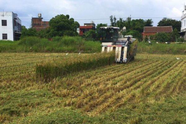 避免稻作污染風險 桃市啟動剷除預防機制