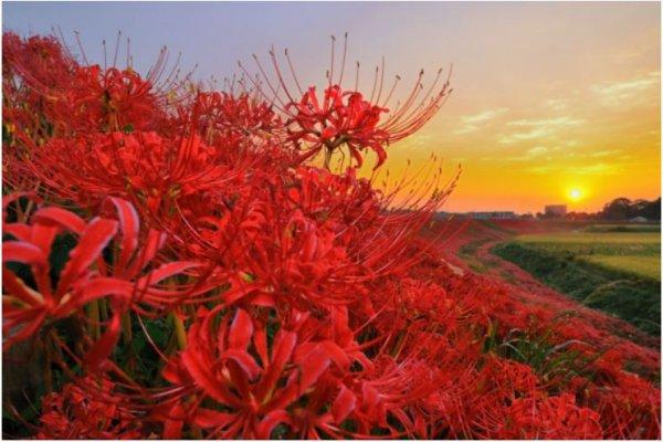 日本9月限定花海!10處曼珠沙華賞花名所,讓攝影愛好者不遠千里而來