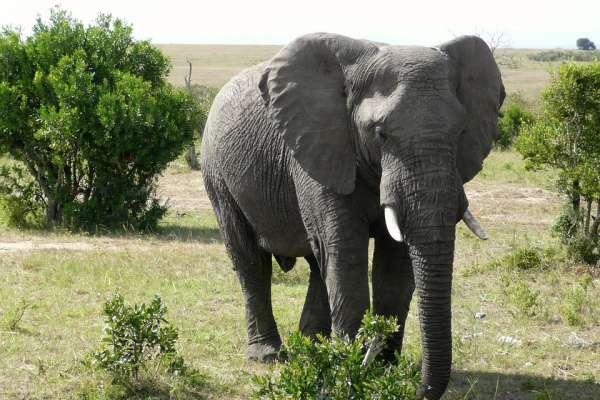 為何原本吃素的牠,竟被發現在吃塑膠袋維生?印度這隻大象,突顯了這個議題多重要