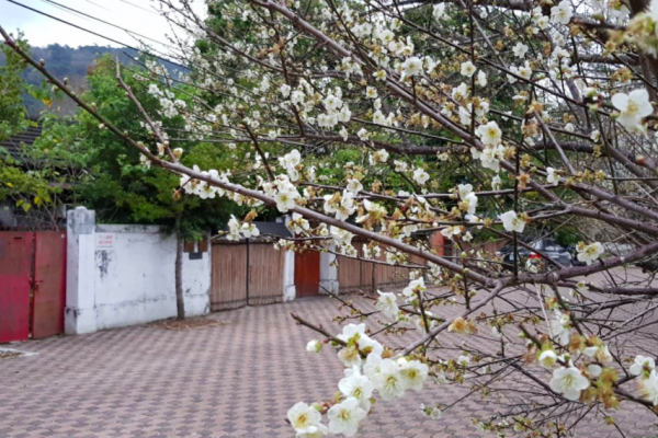 警察宿舍與梅花相映襯 營造日式懷舊新「警」點!