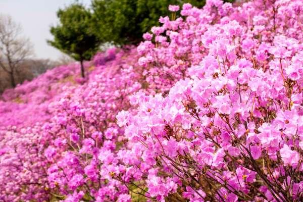 賞櫻人擠人何必呢?當地人不藏私分享,韓國人春季旅遊玩這些、吃這些