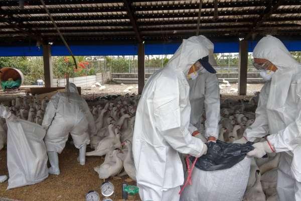 屏東潮州1肉鴨場上市前檢出禽流感 撲殺3136隻鴨