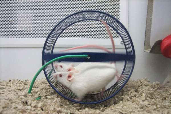 逼白老鼠試產品,跑到沒力就電醒再跑直到倒地…動保團體怒揭台灣「健康食品」血腥黑暗面
