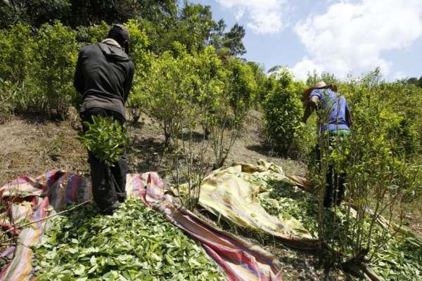 古柯鹼暴利「毒癮」難戒!哥倫比亞推動改種普通作物不見成效,聯合國:2017年毒品產量再創新高