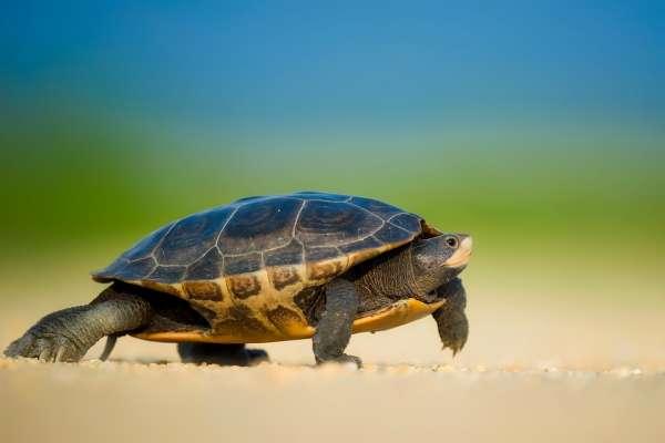 看似行動緩慢、無欲無求,但如果牠消失,人類將有大浩劫…一窺「佛系動物」烏龜的真面目