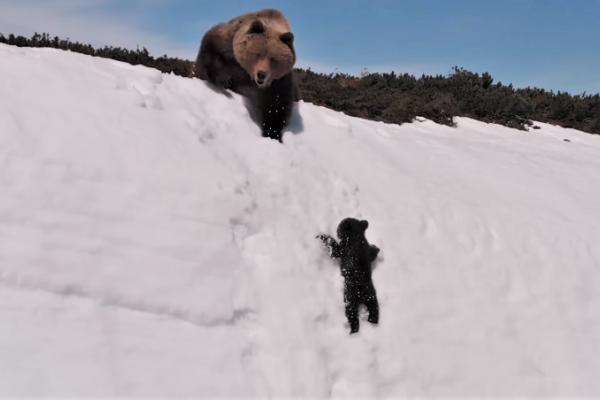 網路瘋傳「小熊爬雪山」影片好勵志?專家還原「殘忍真相」,攝影師其實差點害死熊寶寶!