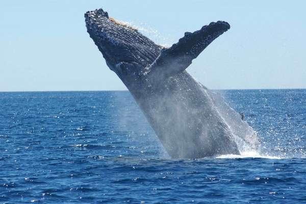 「牠的體內塞了40公斤的塑膠袋,消化不了、也排不出去...」海洋塑膠垃圾浩劫,柯氏喙鯨無辜慘死菲律賓