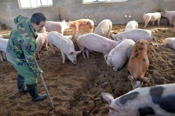 廣西也淪陷!除了新疆、西藏、海南島,中國只剩河北山東不是非洲豬瘟疫區