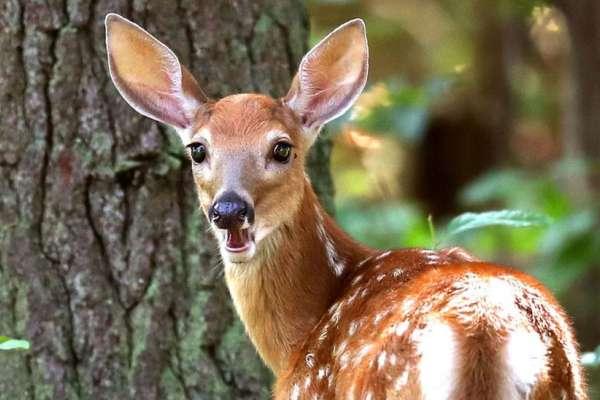 心狼手辣,罰你看卡通!美國盜獵者捕殺數百隻鹿 法官罰他反覆觀看《小鹿斑比》