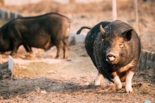 新新聞》非洲豬瘟在中國話題冷,消費者只關心肉品漲幅