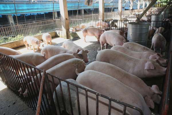 新新聞》防堵非洲豬瘟禁用廚餘養豬,意外推動生質能源廠