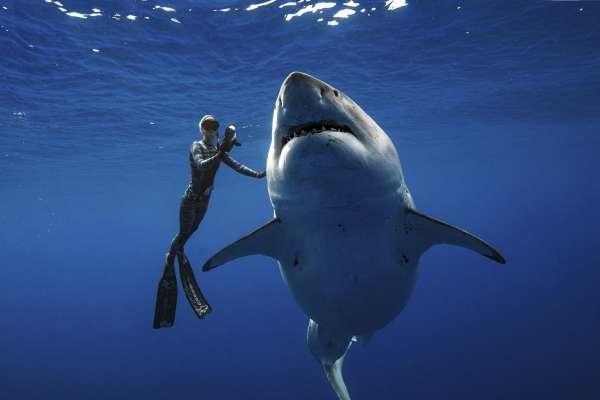 「牠不是冷酷怪物!」6公尺長大白鯊現身夏威夷海域,研究員示範「與鯊共舞」