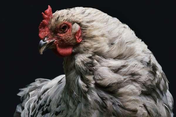好吃、便宜又好養! 《經濟學人》剖析:雞肉如何成為富國肉市霸主?