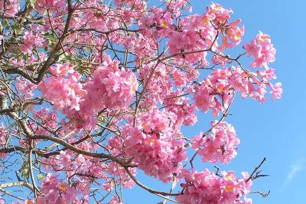 美炸!嘉義高鐵大道「洋紅風鈴花」盛開,花團超大朵!遊客大讚:可和日本櫻花比美!