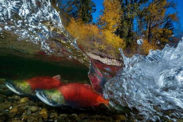 6度溪水趴5天!台灣攝影師拍下「紅鮭迴游」精彩瞬間,絕美作品奪大獎、到倫敦參展了!