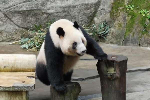 中國送貓熊給高雄?韓國瑜:最重要的是看議會態度